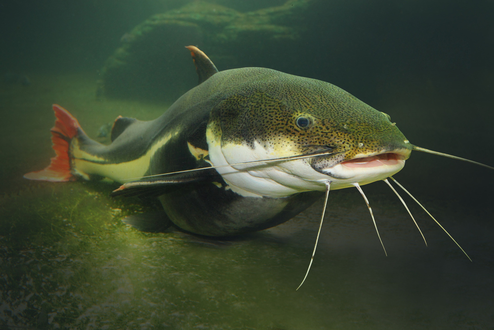 the red tail catfish